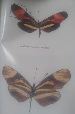 Mariposa falsa erato (Eresia landsdorfi)