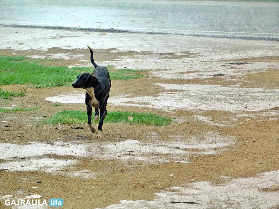 black-dog-in-rain
