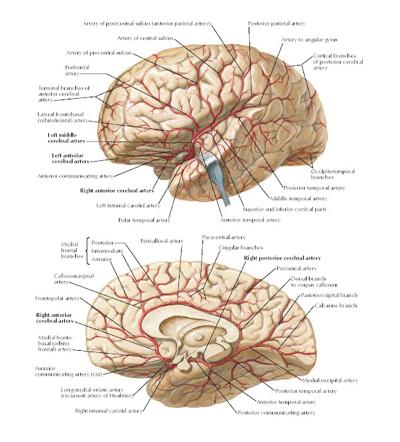 Arteries of Brain: Lateral and Medial Views Anatomy