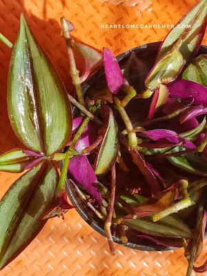 Zebrina, wandering jew, Tradescantia,Inch plant