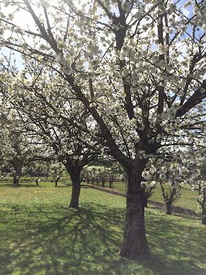 Cerisiers et poiriers en fleurs 2