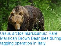 https://sciencythoughts.blogspot.com/2018/04/ursus-arctos-marsicanus-rare-marsican.html