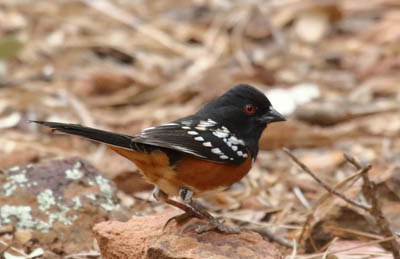 Photo of Spotted Towhee on ground