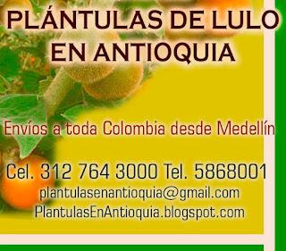 plantulas de lulo en colombia