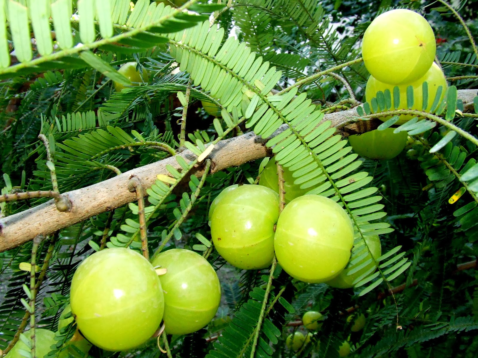 AMBROSIA: Indian Gooseberry Candy|Amla Candy and Indian ...