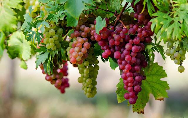 Khasiat dan Manfaat Anggur Merah Yang Tersembunyi 35 Khasiat dan Manfaat Anggur Merah Yang Tersembunyi