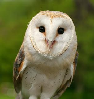 Cara Memelihara Barn Owl