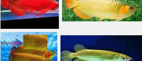 Ini Dia Cara Memilih Ikan Arwana Super Red Anakan Yang Berkualitas