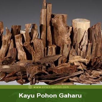 ciri ciri pohon kayu gaharu