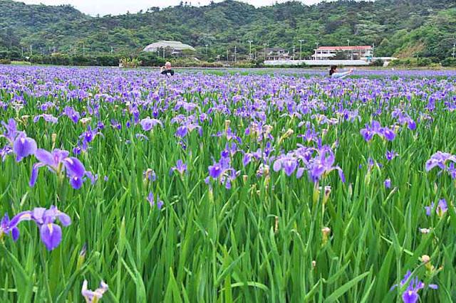 Iris fields and visitors Ogimi Okinawa