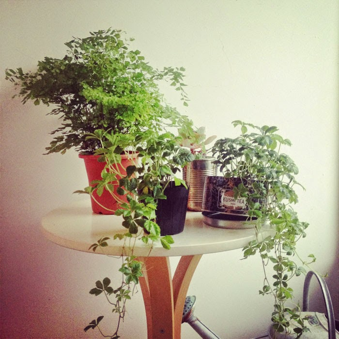 アジアンタムとシュガーバインなどの観葉植物