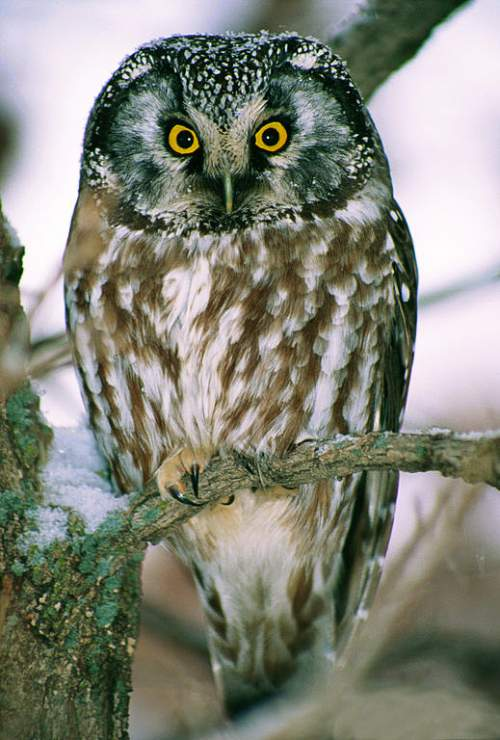 Birds of India - Photo of Boreal (Tengmalm's) owl - Aegolius funereus