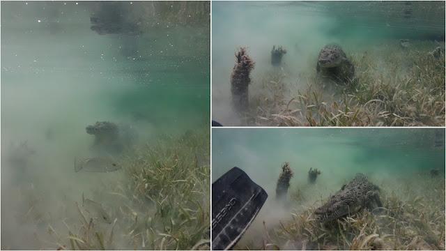 Crocodile attacks diver in Jardines de la Reina
