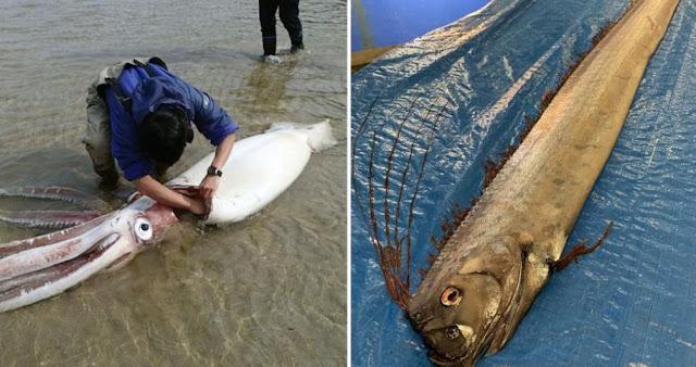 Heboh! Ikan dan Cumu-cumi Raksasa Muncul di Pantai Jepang, Penduduk Takut akan Terjadi Ini...