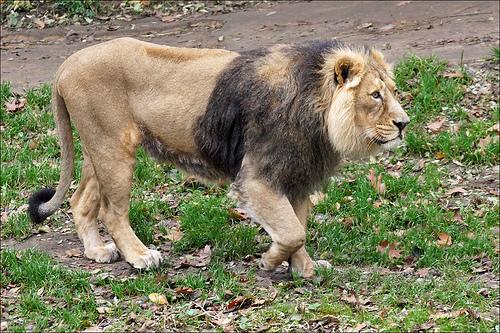 Mengenal Singa India, Satu-Satunya Singa dari Asia - satwa.foresteract.com