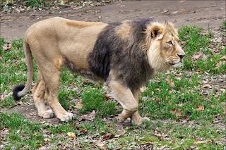 Mengenal Singa India, Satu-Satunya Singa dari Asia