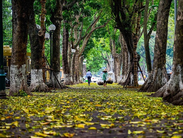 Hanoi streets in autumn filled yellow leaves.
