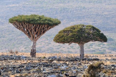 árvore de Socrota