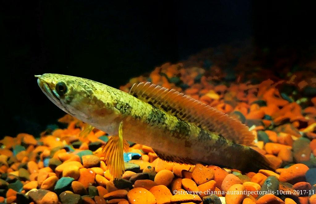 37 Jenis Ikan Gabus Hias Atau Channa Lengkap Beserta Gambarnya Ikanesia Id