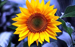 Gambar Bunga Matahari Paling Indah 20006_Sunflower