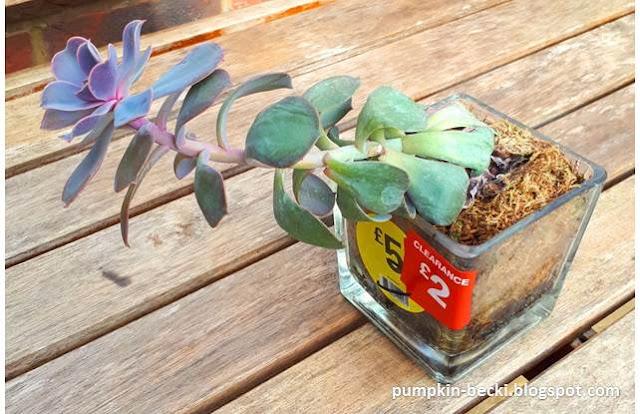 Etiolated Echeveria succlent plant propagation