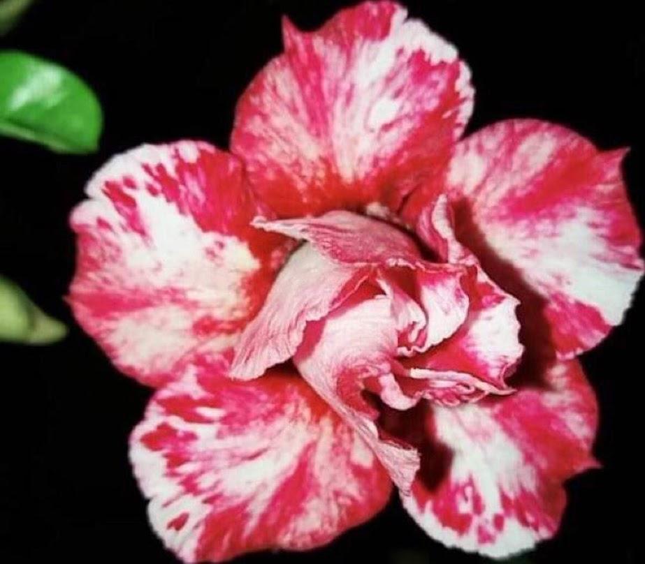 PROMO Paket 5 jenis warna bunga pohon kamboja jepang adenium tanaman hias bibit biji Medan