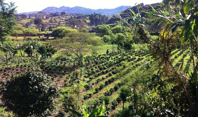 Farm photo of coffee plantation in Loja Ecuador