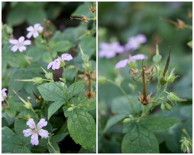 Garten Dauerblüher Geranium nodosum blüht von Juni bis Oktober