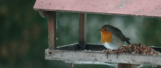 Picture of Robin on birdtable. What is the best bird food for Robins. What seeds do Robins eat