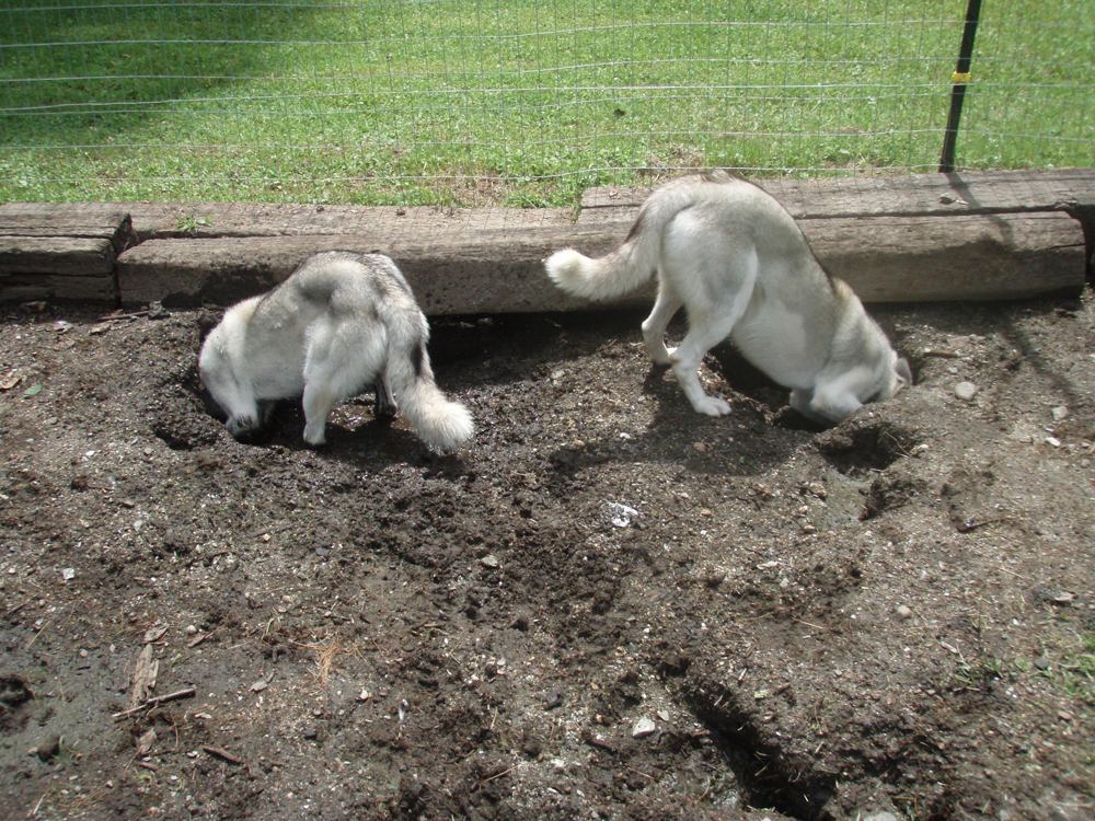 Siberian-Huskies-digging-holes