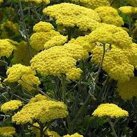 Achillea flowers
