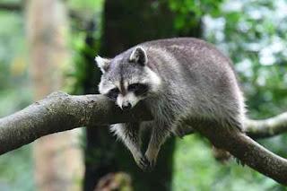حيوان بحرف الراء ◁ اسماء حيوانات بحرف الراء