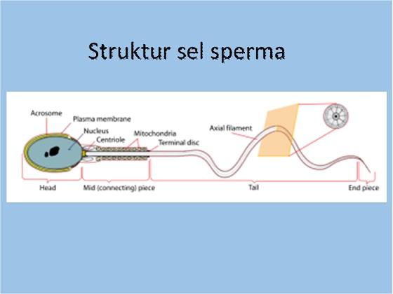 Bagian-bagian sel sperma manusia