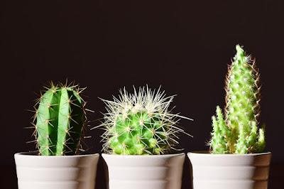Tukang taman surabaya tanaman kaktus
