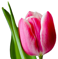 Tulipa png
