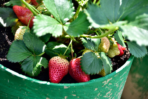 Langkah mudah menanam buah STRAWBERRY menggunakan Pot atau Polybag
