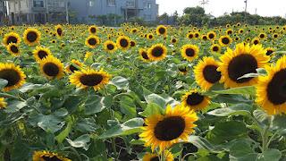 किसान कैसे , सूरजमुखी की उन्नत खेती कर कमाए लाभ ? ,, पढ़े (How farmers, earn profit by advanced sunflower farming?  , Read)