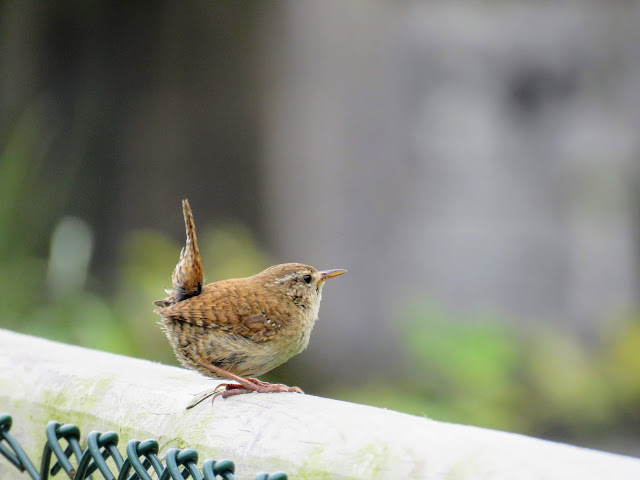 Wren on Greenway near Victoria Lough between Newry and Carlingford