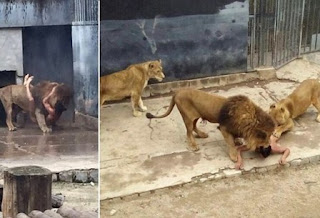 Man jumps into Lion cage