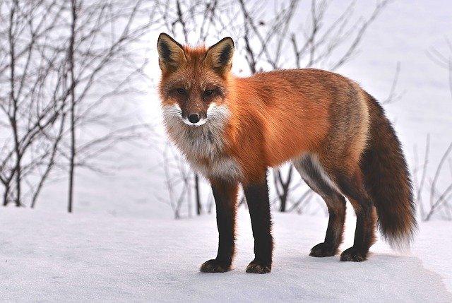 Fox facts in hindi। लोमड़ी के बारे में 37 रोचक तथ्य