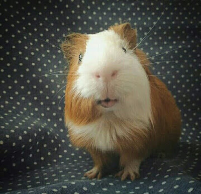 My Third Guinea Pig called Baby