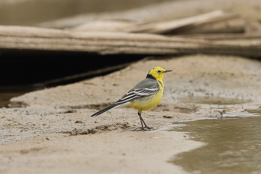 Three Citrine Wagtails – Jubail