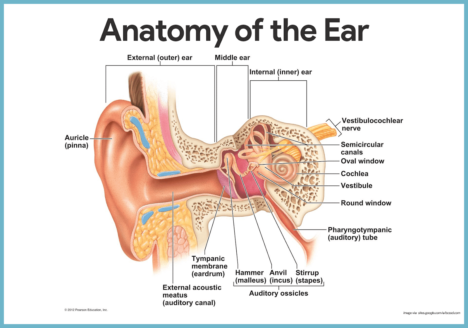 diagram of outside ear mg tf wiring canal function coordstudenti
