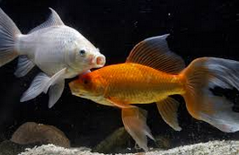 jenis ikan koki Comet goldfish putih dan emas
