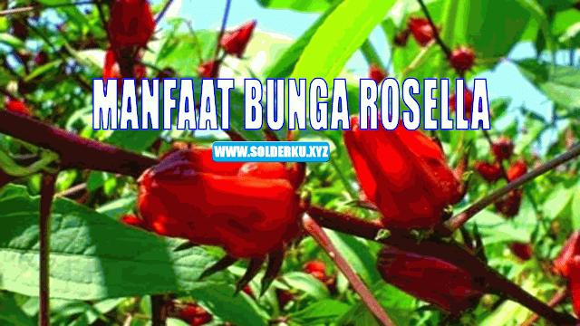 5 Manfaat Bunga Rosella Untuk Kesehatan Dan Kecantikan Yang Luar Biasa