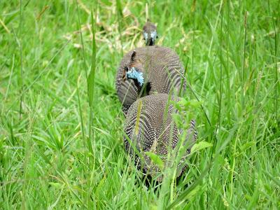 Uganda Birds: Crested Guineafowl