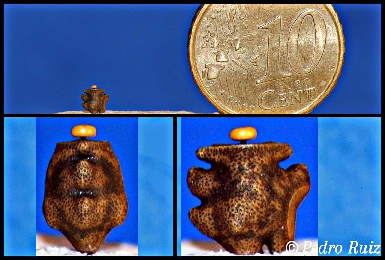 Huevo de Mnesilochus Latifemur, ahora llamado Phenacephorus Latifemur