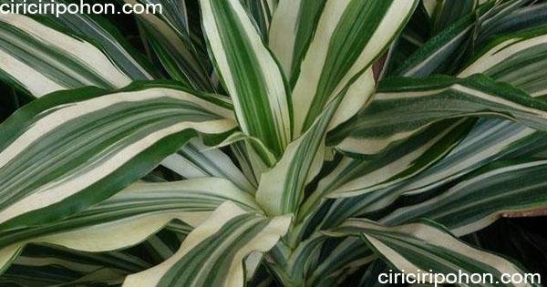 ciri ciri pohon Dracaena Deremensis
