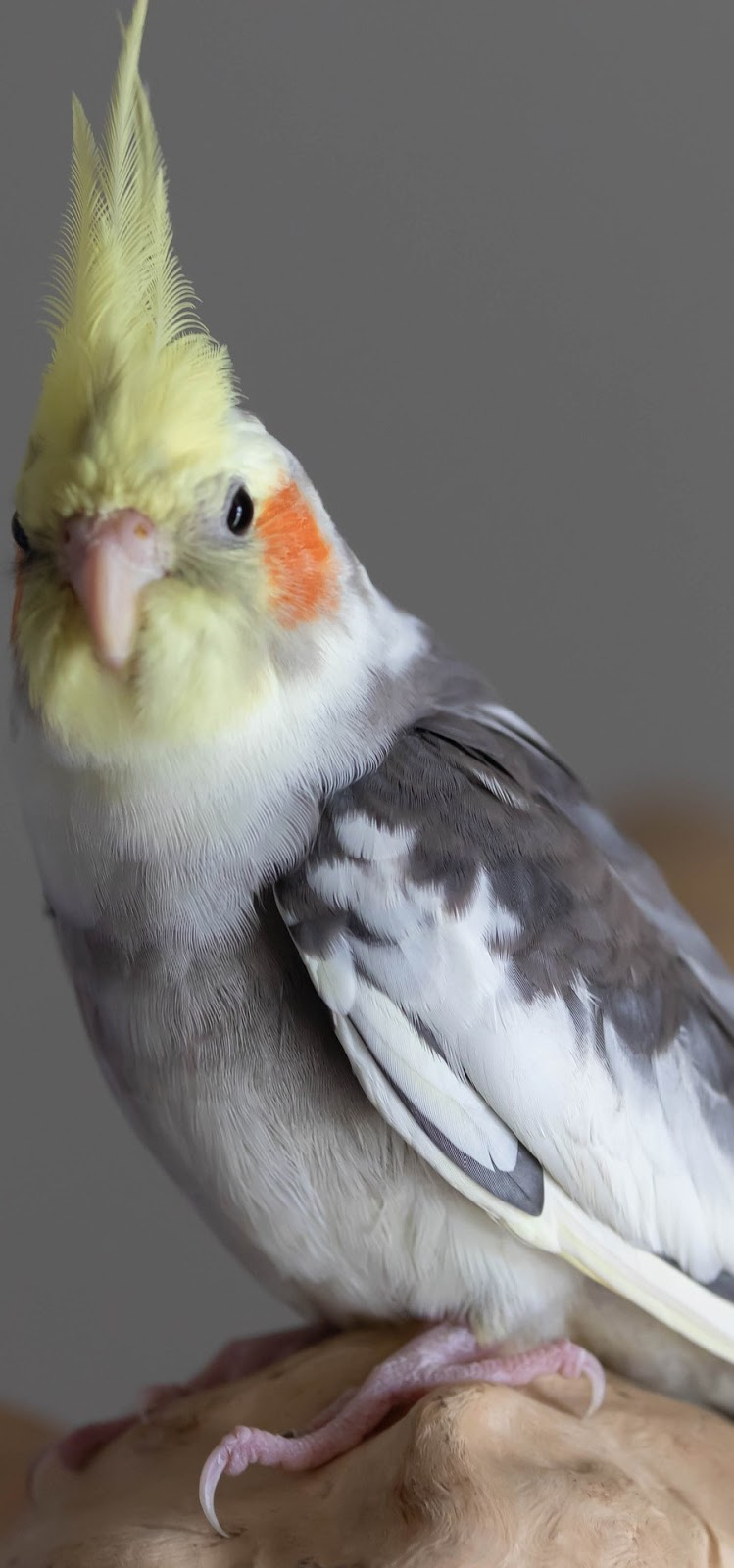 A portrait of a cockatiel .