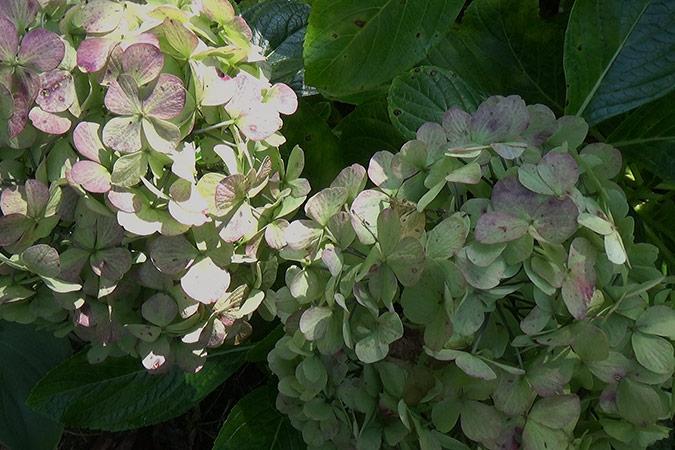 Dlium Mophead hydrangea (Hydrangea macrophylla)